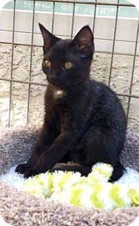 Domestic Shorthair Kitten for adoption in Sacramento, California - Gigi