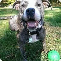 Pit Bull Terrier Mix Dog for adoption in Dayton, Ohio - Cotton