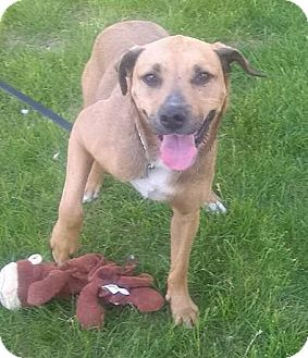 Shepherd (Unknown Type)/Terrier (Unknown Type, Medium) Mix Dog for adoption in St. Louis, Missouri - Jasper