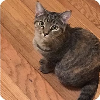 Domestic Shorthair Cat for adoption in Covington, Kentucky - Pebbles