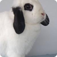 Adopt A Pet :: Opossum - Hahira, GA