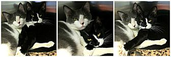 Domestic Shorthair Cat for adoption in Forked River, New Jersey - Tulip & Caroline