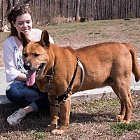 Akita Mix Dog for adoption in Midlothian, Virginia - Akagi