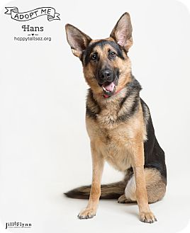 German Shepherd Dog Dog for adoption in Chandler, Arizona - Hans