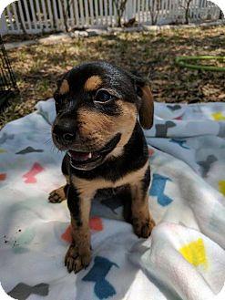 Shepherd (Unknown Type) Mix Puppy for adoption in Lithia, Florida - Tilly puppy 1- 17 Mattie. Adoption pending.