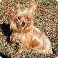 Adopt A Pet :: Ruby (11 lb) A Little Angel - Williamsport, MD