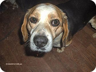 Beagle Dog for adoption in Portland, Oregon - Joey