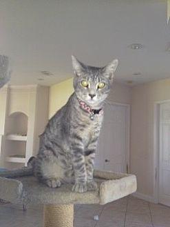 Domestic Shorthair Cat for adoption in St. Cloud, Florida - Felix