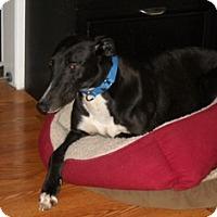 Adopt A Pet :: Salty Sasha - Knoxville, TN