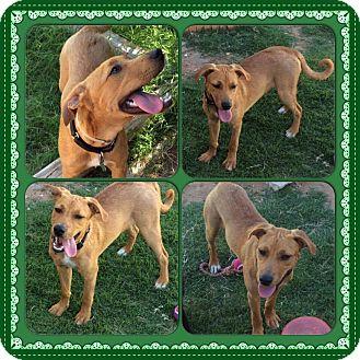 Labrador Retriever/Hound (Unknown Type) Mix Dog for adoption in Austin, Texas - Ziggy