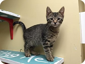 Domestic Shorthair Kitten for adoption in Maryville, Missouri - Skye