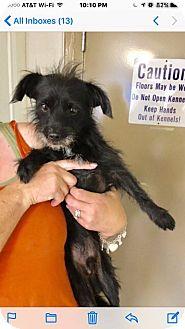 Havanese/Schnauzer (Miniature) Mix Dog for adoption in Oakland, Florida - Soto