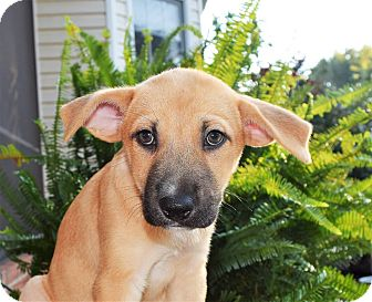Pit Bull Terrier/Husky Mix Puppy for adoption in Charlotte, North Carolina - San Francisco (City Slickers)