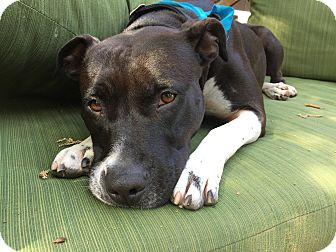 American Pit Bull Terrier/American Staffordshire Terrier Mix Dog for adoption in Los Angeles, California - KENNY