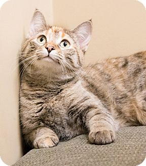 Domestic Shorthair Cat for adoption in Chicago, Illinois - Siri