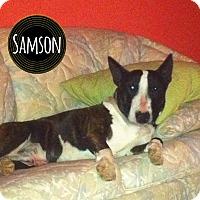 Adopt A Pet :: Samson - Lake Worth, FL