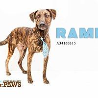 Adopt A Pet :: Rambo - San Angelo, TX