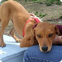 Adopt A Pet :: Red Girl - Beacon, NY
