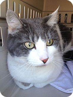 Domestic Shorthair Cat for adoption in Irvine, California - Lacey