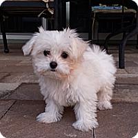 Adopt A Pet :: QT (Q-Tip/Cutie) - Fort Lauderdale, FL