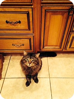Maine Coon Cat for adoption in St. Cloud, Florida - Valentino