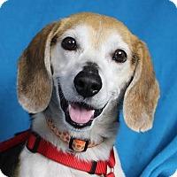 Adopt A Pet :: Cate - Minneapolis, MN