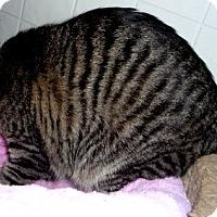 Adopt A Pet :: Tigress - Dallas, TX