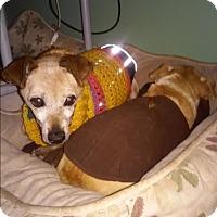 Chihuahua Mix Dog for adoption in Creston, California - Lenny