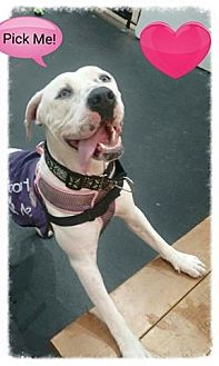 American Bulldog Mix Dog for adoption in Sacramento, California - Shasta