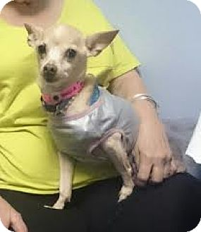 Chihuahua Mix Dog for adoption in McAllen, Texas - Tamale queen