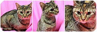 Domestic Shorthair Cat for adoption in Forked River, New Jersey - Halo