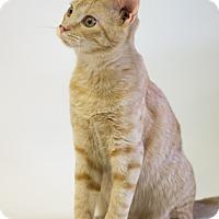 Adopt A Pet :: BECKETT - Houston, TX
