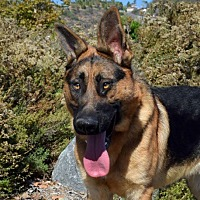 German Shepherd Dog Dog for adoption in San Diego, California - Chumley