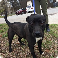 Adopt A Pet :: Diamond - Jackson, TN