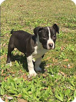 American Bulldog Mix Puppy for adoption in Glastonbury, Connecticut - Ruger~adopted!