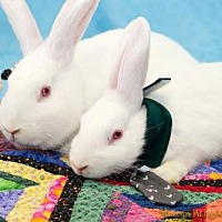 Adopt A Pet :: Josephine + Peter Rabbit - Little Rock, AR
