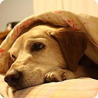 Adopt A Pet :: Stargirl - Evergreen, CO