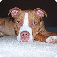 Adopt A Pet :: Reggie - Reisterstown, MD
