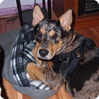 Australian Cattle Dog Dog for adoption in Seymour, Connecticut - Nooka