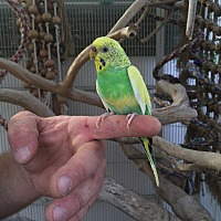 Parakeet - Other for adoption in Woodbridge, New Jersey - Parakeets