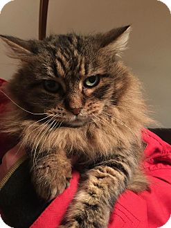 Domestic Longhair Cat for adoption in Salt Lake City, Utah - Carleigh