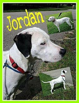 Dalmatian Mix Dog for adoption in Fort Collins, Colorado - Jordan