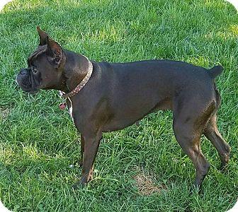 Boxer Dog for adoption in Waterford, Michigan - Teva