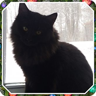 Domestic Longhair Kitten for adoption in Cedar Springs, Michigan - Sher Khan