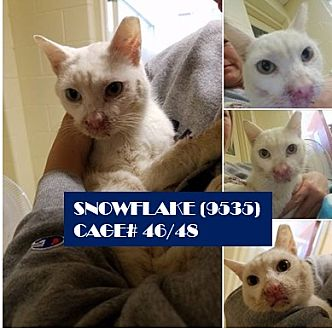 Domestic Shorthair Cat for adoption in Flint, Michigan - SNOWFLAKE