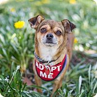 Adopt A Pet :: Cara - Van Nuys, CA