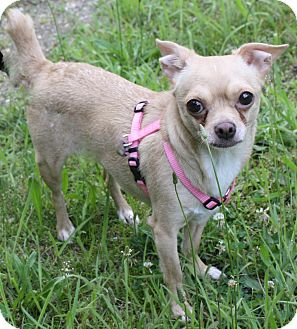 Chihuahua Dog for adoption in Forked River, New Jersey - Bambi