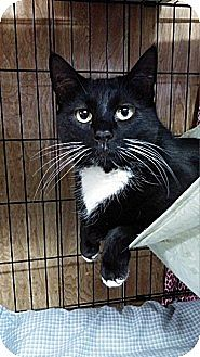 Domestic Shorthair Cat for adoption in Linden, New Jersey - Iris