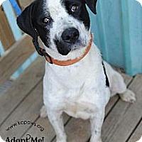 Adopt A Pet :: Koda - Kansas City, MO