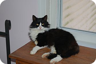 Domestic Longhair Cat for adoption in Great Mills, Maryland - Michelle